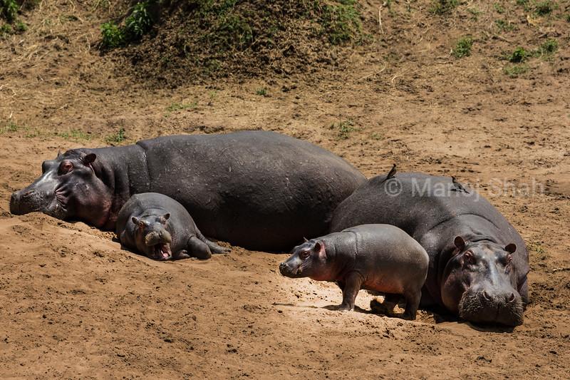 Hippos sun bathing