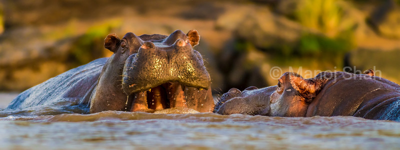 Eye level close up of Hippos in water
