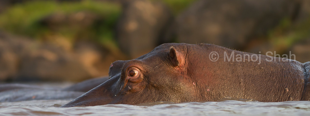 Eye level close up of Hippo in water