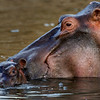 Hippo mother with baby