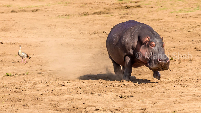 Hippopotamus on the run on Mara river bank in Masai Mara, Kenya.