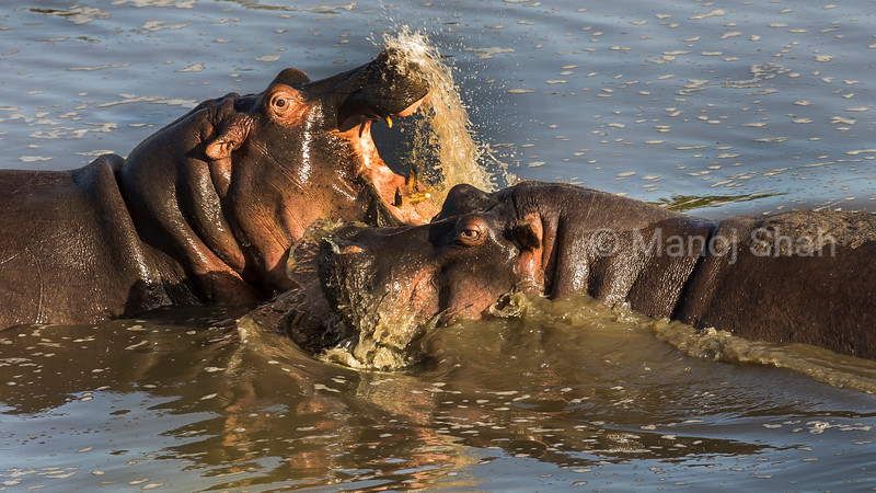 Adult hippos play fighting in Mara River in Masai Mara,