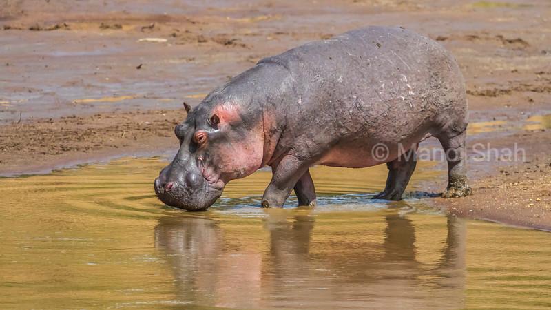 Hippo entering the Mara River