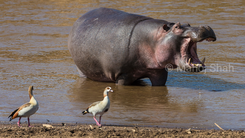 Egyptian Geese walking past a Hippo in Mara River.