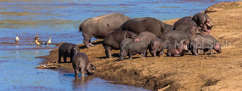 Hippos yawning at Mara River in Masai Mara.