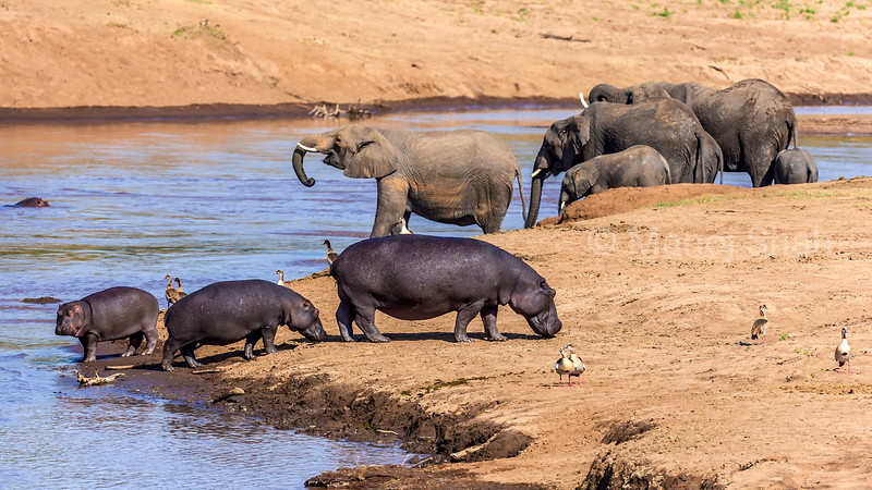 African Elephants drinking water from Mara river with Hippos and Egtptian Geese on Mara River bank in Masai Mara.