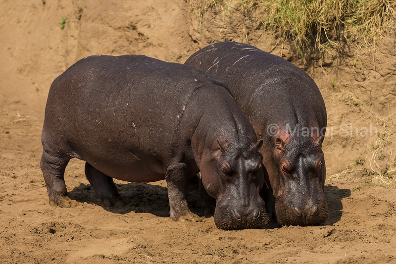 Hippos on the river bank