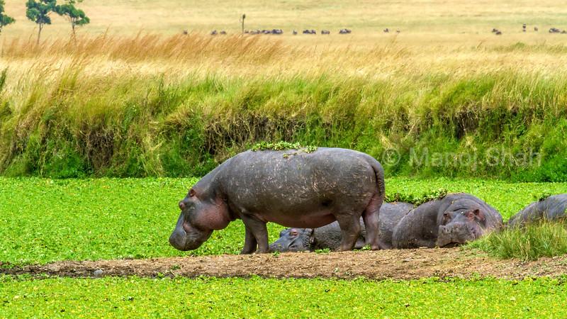 Hippos relaxing in the Marsh in Masai Mara