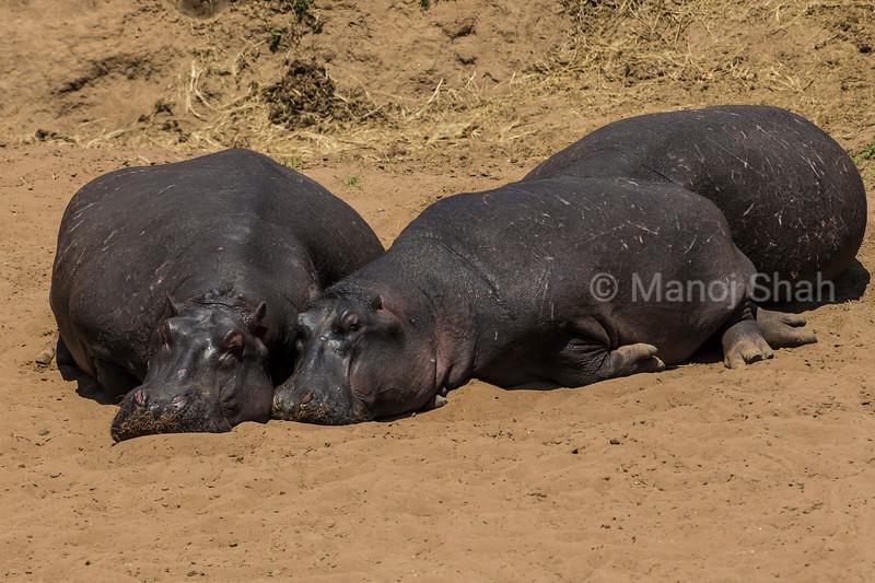 Hippos basking under the morning sun.
