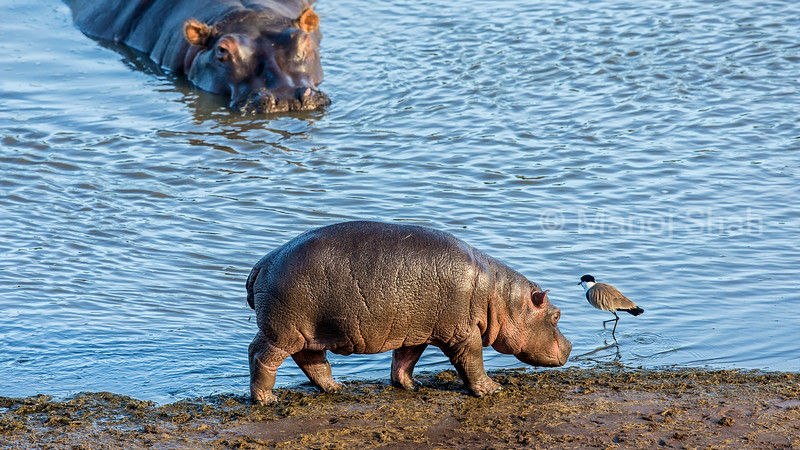 The Spur-Wnged Plover fascinates the baby hippo under the watchful eye of the hippo mother in Masai Mara.