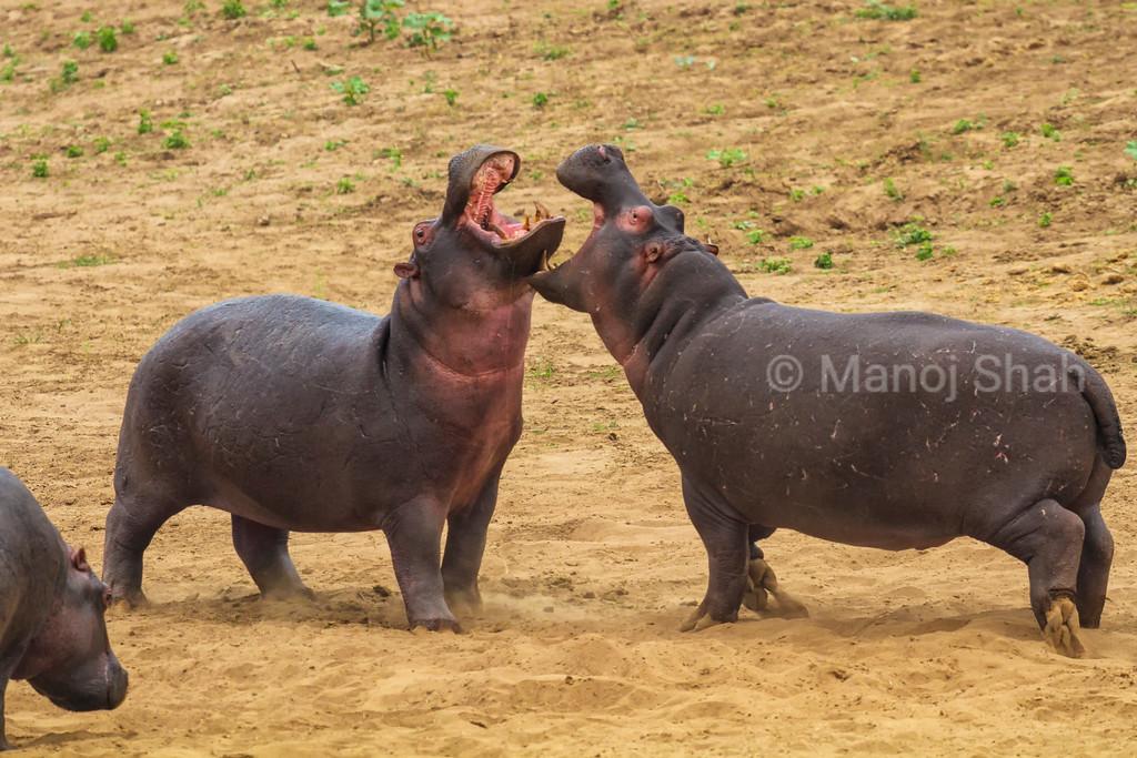 Hippos play fighting on Mara River bank.