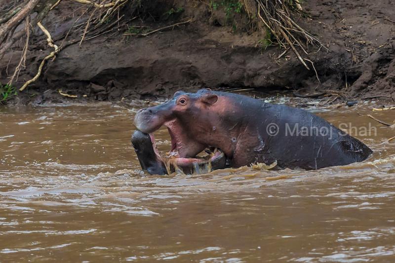 Hippos interacting