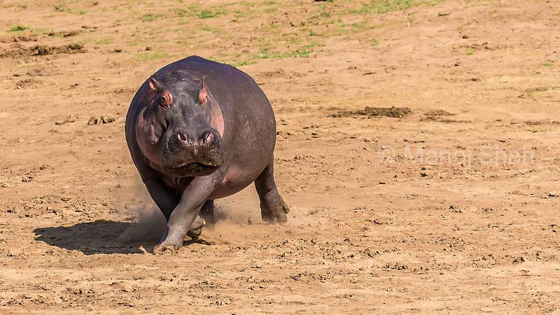 hippopotamus makes a u-turn on the Mara River bank in Masai Mara, Kenya