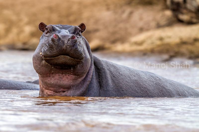 hippopotamus in Mara River looking at the phographer in Masai Mara