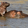 Hippo baby with mum