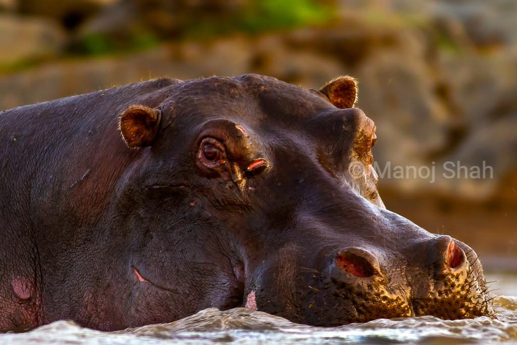 Hippo resting in river