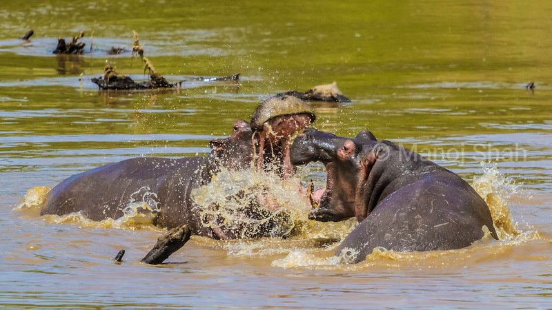 hippos Play fighting