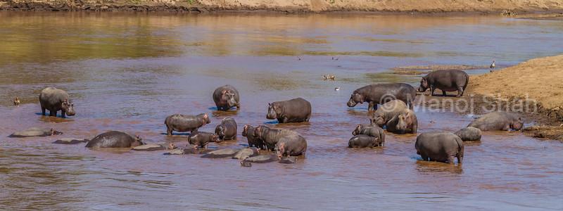 Hippos wandeing in shallow water of Mara River in Masai Mara.