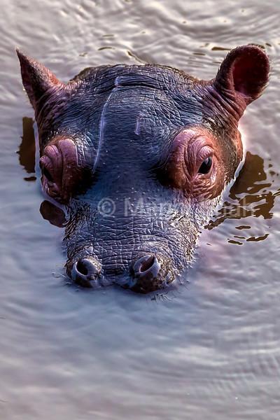 Hippo baby watches mother go underwater at Mara Rive in Masai Mara.