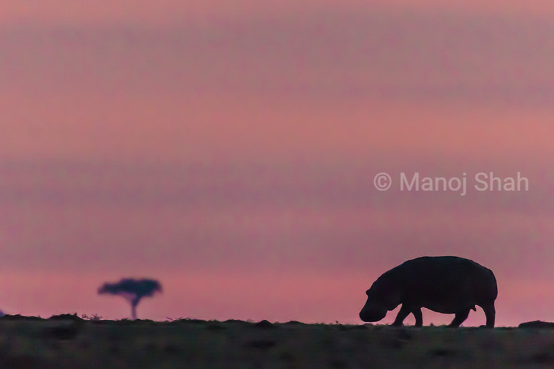 Hippo grazing before sunrise