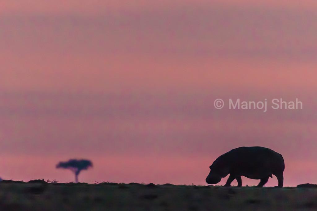 Hippo grazing before sunrise