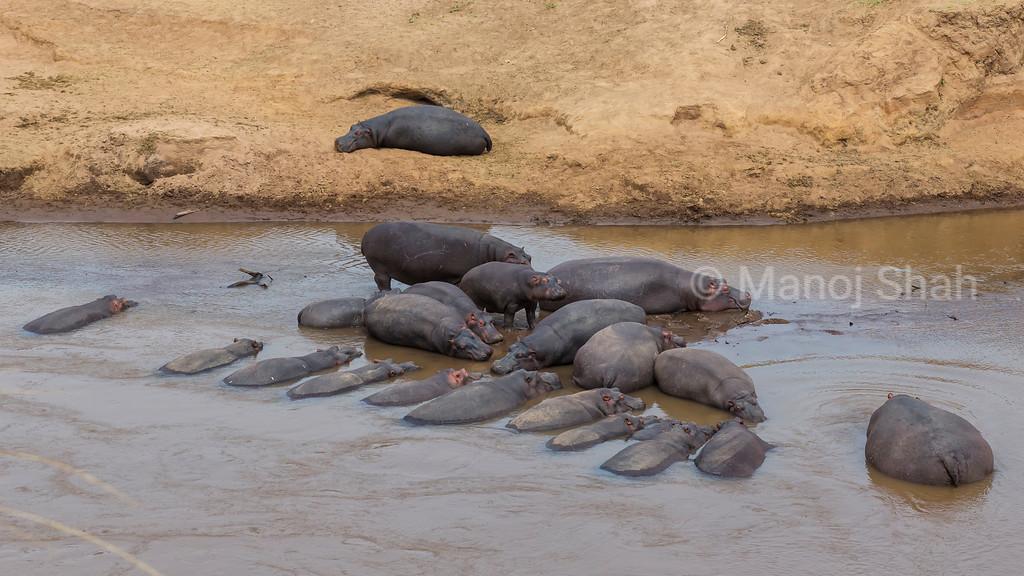 Hippos 'parked' sleeping in Mara River.
