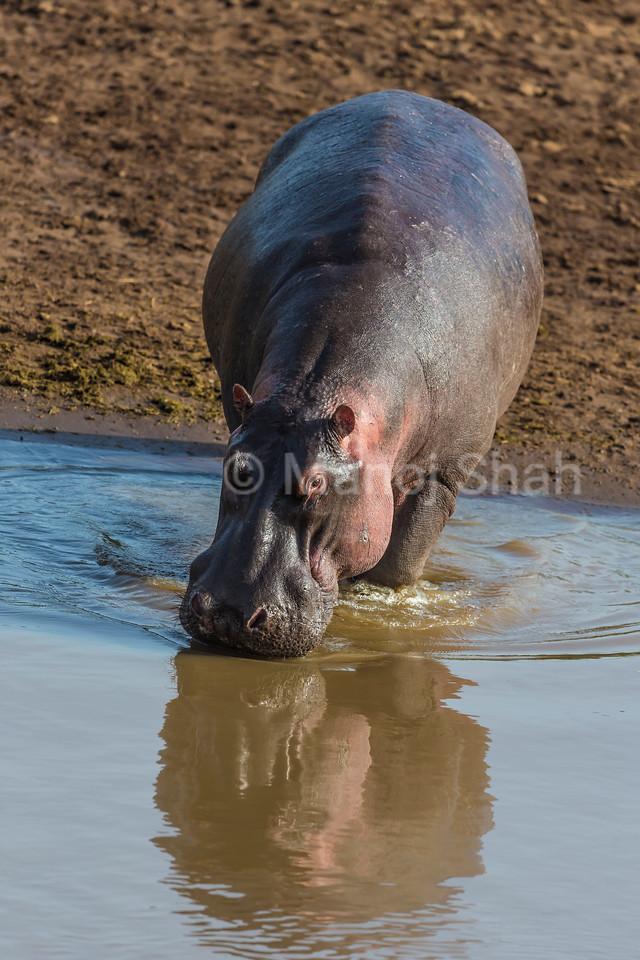 Hippo entering Mara River