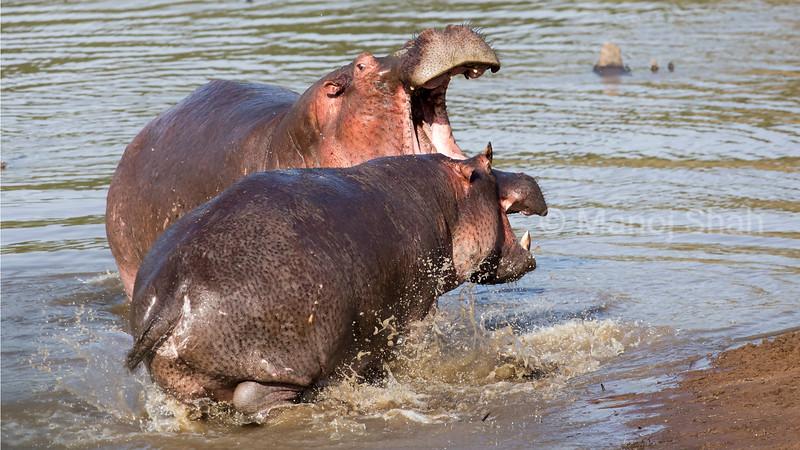 Hippos having a territorial dispute