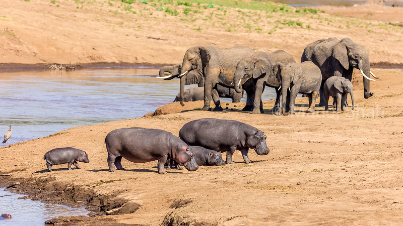 African Elephants drinking water from Mara river with Hippos  on Mara River bank in Masai Mara.