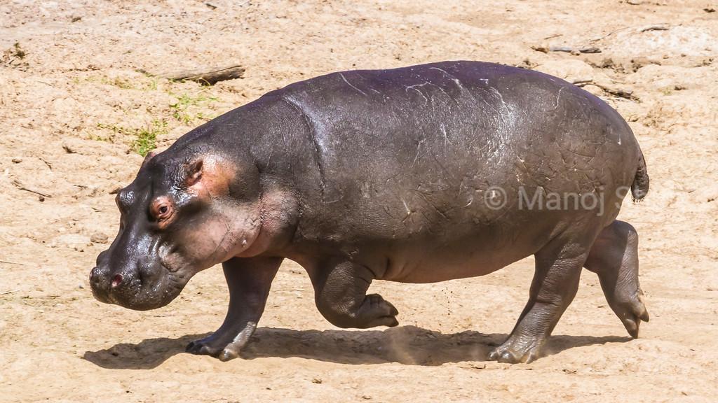Hippo running on the Mara River bank