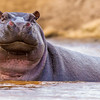 Hippo in water raises its head
