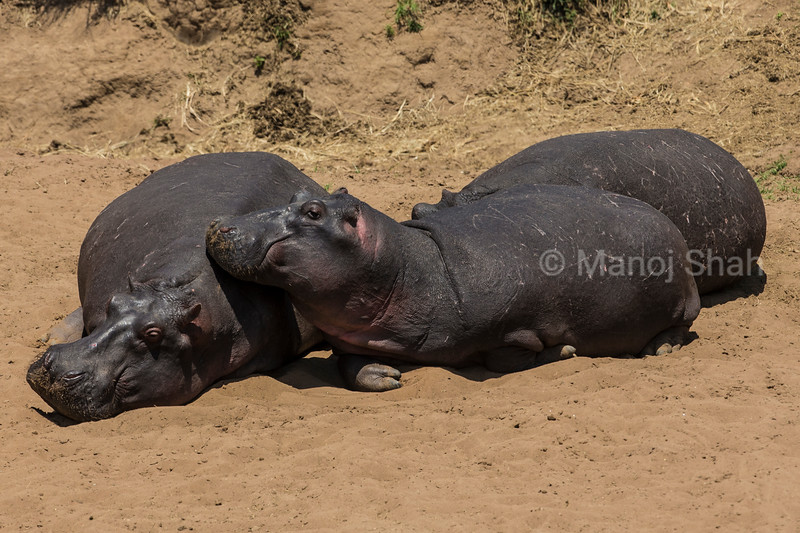 Hippos basking in the sun