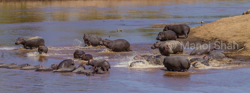 Hippos splashing about in Mara River in mdst of other hippos resting in Masai Mara,