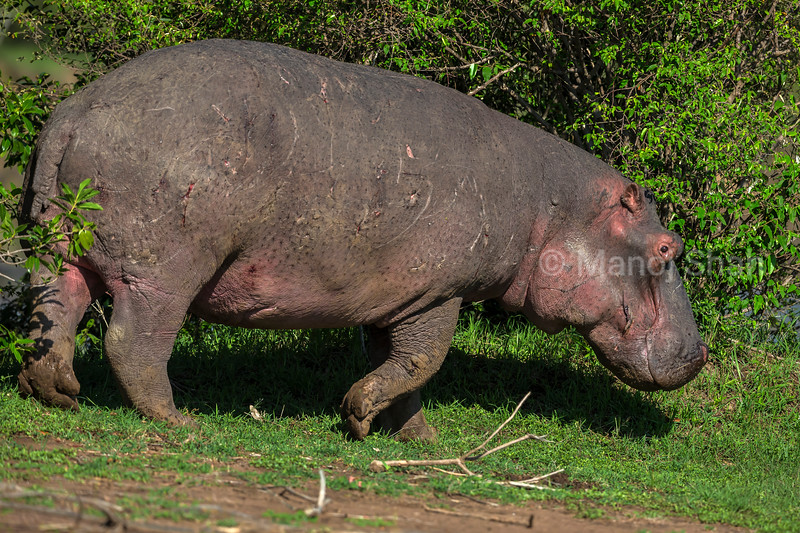 Hippo browsing in Daylight in Masai Mara National Reserve.
