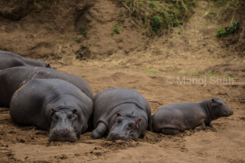 Hippos resting on river bank