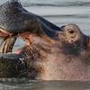 Hippo - Næsehorn