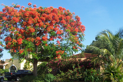 Every Spring, the Royal Poinciana in the front yard puts on a spectacular show that lasts through early summer.
