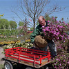98/04/27 Rhododendron *Dennis Stierer photo - Michael Mosher with Faery's Nursery loads a Rhododendron on the wagon as customers are getting an early start on planting this year.