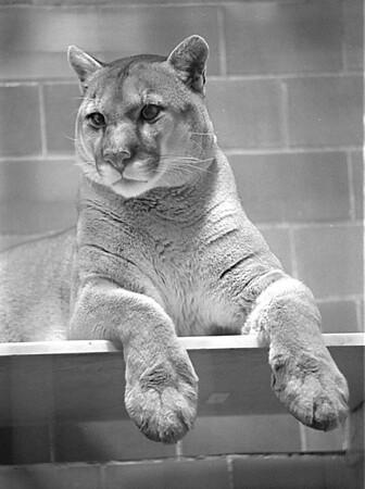 1/8/97 Dakotah Cougar - James Neiss Photo - Buffalo Zoo