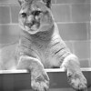1/8/97 Dakotah Cougar - James Neiss Photo - Buffalo Zoo