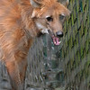 5/21/97--BFLO ZOO/MANE WOLF--DAN CAPPELLAZZO PHOTO--THE SOUTH AMERICAN MANE WOLF AT THE BFLO ZOO. THE NEW ADDITION WILL OPEN TO THE PUBLIC SATURDAY.<br /> <br /> N&D