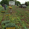 98/06/05 Sorting Cabbage *Dennis Stierer Photo