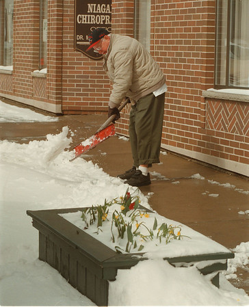 98/03/10 Snow Flowers - James Neiss Photo - Spring flowers sprouting from a Pine Ave flower box, were covered in snow as Fred Delmonte shovels the snow from the walk way in front of Niagara Chiropractic at 1310 Pine ave.