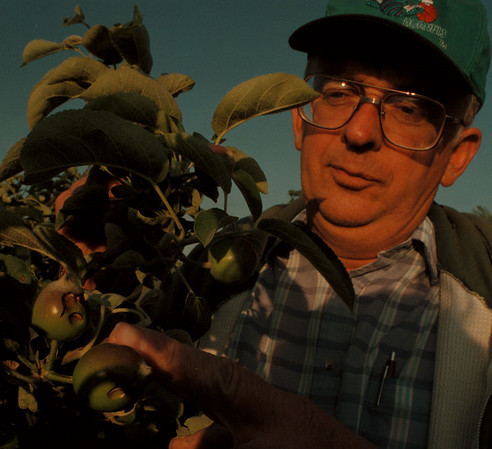 98/06/01--STORM DAMAGE--DAN CAPPELLAZZO PHOTO--GASPORT FARMER ALAN BUHR INSPECTS DAMAGED APPLES.<br /> <br /> LKP
