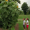 98/07/31--MEDINA/SUNFLOWERS--DAN CAPPELLAZZO PHOTO--COUSINS 6-YR-OLD KURTIS STACK, LEFT, AND 8-YR-OLD DEREK STACK LOOK UP AT A 13FT SUNFLOWER PLANT AT THEIR GRANDMOTHERS RESIDENCE, CHET AND LOIS STACK, OAK STREET.<br /> <br /> ME