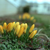 98/02/27-- crocus --Takaaki Iwabu photo-- Sign of spring? Crocus are already blooming at 8993 Earnest Road. <br /> <br /> photobin, color