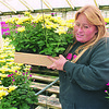 3/23/97--MUMS 2--TAKAAKI--HORICULTURIST BETTY GEISER PREPARES A BOX OF MUMS FOR SHIPMENT.<br /> <br /> FEATURE SUNDAY