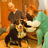 98/03/05 Dog Checks OK *Dennis Stierer Photo - Robyn Schultz, a Vet Tech checks out the rescued dog. Ed Stoneham, a kennal asst. in the background hold on to 'Buford' as he has given the unknown dog a name. The dog is a male, 1 1/2 to 2 years old and seems to be a mix of Rottweiler and Bernese Mountain Dog.