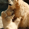 98/02/03--Z00/POLAR BEARS--CAPPY PHOTO--MOTHER AND DAUGHTER.<br /> <br /> N&D ATTRACTIONS