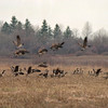 98/03/06 Canadian Geese *Dennis Stierer photo - The Canadian geese are returning north about a month early this year due to the mild season we have had and of the rough weather down south.  This photo was taken on Friday, March 6th at about 2:53PM. on a farm field off Rt 77 just before crossing over into Orleans county.